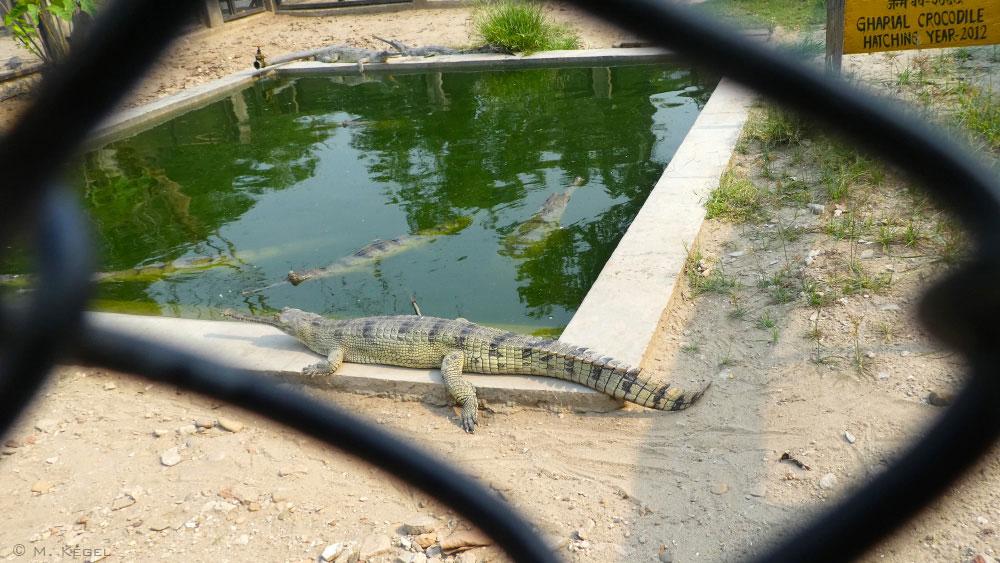 Chitwan Nationalpark, Krokodil-Aufzuchtstation, Gharial-Krokodil
